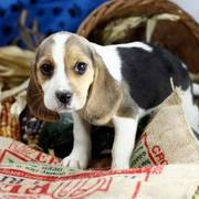 Cute Beagle Puppy Ready For Adoption Now
