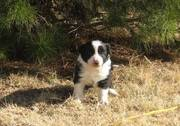 Beautiful Border Collie puppies for adoption