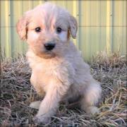 Goldendoodles puppy for sale