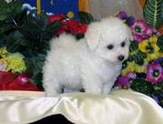 Bichon frice puppies for sale this new year in a good loveley home