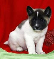 jaminelarry@gmail.com Gorgeous and adorable Akita puppies