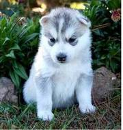 super quality Siberian Husky Puppies for adoption