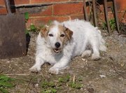 Missing Jack Russell ~ REWARD