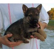 two german sheppard  puppies  for adoption
